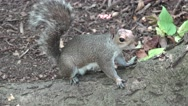 Close up of a grey squirrel in Central Park (4K), Manhattan, New York. Stock Footage
