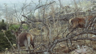 Red Deers looking for food in ravaged forest in the fog Stock Footage