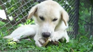 Dog lying on a grass and gnaw a bone. Stock Footage