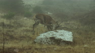 Red Deer looking for food in ravaged forest in the fog Stock Footage