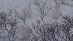 White ptarmigan in winter plumage forage in blizzard Stock Footage