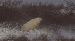 Polar bear in blizzard shakes off snow and lies down in willows Stock Footage
