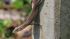 Lizard sitting on a concrete pillar, close up. Sri Lanka Stock Footage
