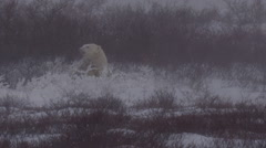 Polar bear in snow bed sticks head out into blizzard snow Stock Footage