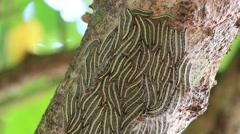 Eastern Tent caterpillars on the nest in a tree. Mirissa, Sri Lanka . Close up Stock Footage