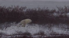 Slow motion - polar bear in snow bed as blizzard blows snow Stock Footage
