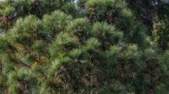 Cedar branches Stock Footage