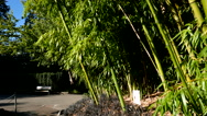 Bamboo In breeze on sunny day at Queen Elizabeth Park Stock Footage