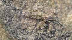 Nursery spider on a rock Stock Footage