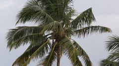 Tropical wind and coconut palm tree leaves, close up. Sri Lanka Stock Footage