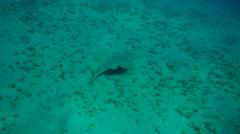 Guitarfish, Common violinfish orthornback guitarfish- Platyrhinoidis Stock Footage