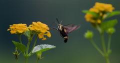 Hummingbird moth, Hemaris diffinis, foraging on Lantana flowers. Stock Footage