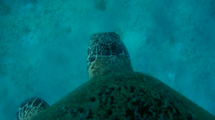 Green Sea Turtle - Chelonia mydas, floating above the rocky bottom   Stock Footage