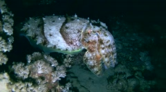 Cuttlefish - Sepia prashadi, night diving in Red sea, Egypt Stock Footage