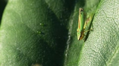 Rhododendron Leafhopper video clip Stock Footage
