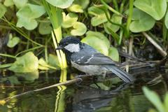 Coal tit perched over water Stock Photos