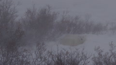Snowy blizzard winds do not phase polar bear in snow bed Stock Footage