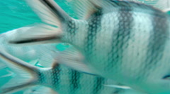 Shoal of tropical fish, Banded butterflyfish, with water surface Stock Footage