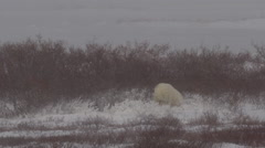 Polar bear in willows shelters from blizzard winds as sun shines Stock Footage