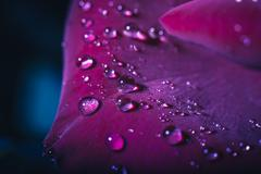 Water droplets on a red rose petals Stock Photos