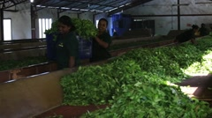 Women are engaged in the oxidation and drying tea leaves in tea factory Stock Footage