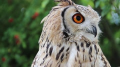 The Indian eagle-owl. Bubo bengalensis Stock Footage