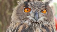 The Eurasian eagle-owl (Bubo bubo) Stock Footage