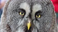 The great grey owl or great gray owl (Strix nebulosa) Stock Footage