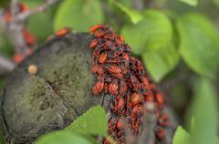 A group of firebugs (Pyrrhocoris apterus) on a log Stock Photos