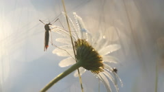 Big mosqito and small bug on camomile with waterdrops at morning in sunlight. Stock Footage