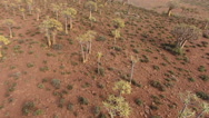 Low flying aerial view of rare quiver trees, Northern Cape, South Africa Stock Footage