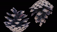 Time-lapse of opening pine cone in RGB + ALPHA matte format Stock Footage