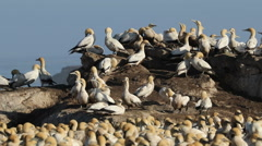 Colony of breeding Cape gannets, Bird island, Lamberts Bay, South Africa Stock Footage