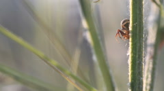 Crabspider on plant at morning in sunlight Stock Footage