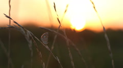 Litlle pretty butterfly on grass in evening sunlight flying up Stock Footage