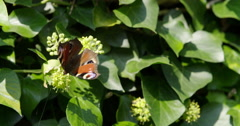 Painted Lady Butterfly (Vanessa cardui) nectaring in a hedge Stock Footage