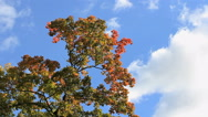 Autumn landscape. Autumn tree with red and orange leaves. Stock Footage