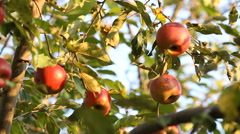 Red apple on tree branch Stock Footage