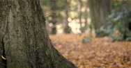 English Woodland: Autumnal forest scene; pan Stock Footage