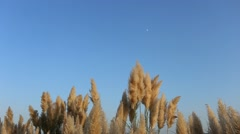 Brown reeds waving in the wind, against the blue sky Stock Footage