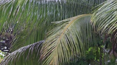 Tropical rain drops falling on the large green palm tree leaves in Thailand Stock Footage