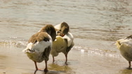 Ducks scratching themselves panning. A funny moment. Stock Footage