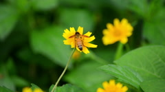 Honeybee On Wild Flower Stock Footage