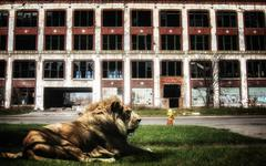 African Lion in Detroit Kuvituskuvat