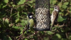Great tit and tree sparrow Stock Footage