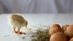 Egg Chick poultry forage small chicken Stock Footage