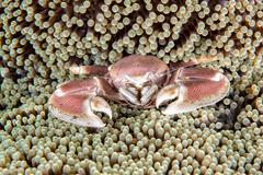 Porcelain crab inside the green anemone Stock Photos