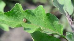 Colorado pest beetle on leaves of eggplant Stock Footage