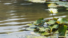 Water lily in a pond with water rippling behind, in slow motion Stock Footage