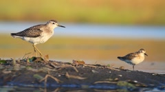 Large and small sandpiper standing on one leg Stock Footage